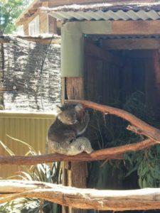 メルボルンの動物園のコアラ