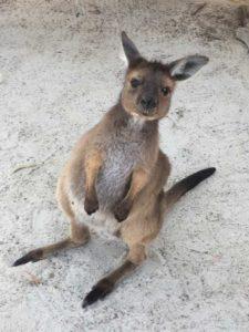 メルボルンの動物園のカンガルー