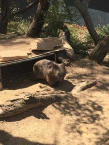 メルボルンの動物園のウォンバット